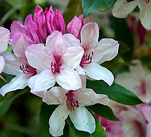 pink and white azalea  by thvisions