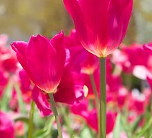pink tulips by thvisions