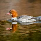 Common Merganser female: Into the Light by John Williams