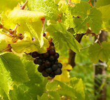 pinot noir grapes  by thvisions