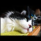 Felis Catus - Male Tuxedo Maine Coon Cat Watching Birds by © Sophie W. Smith