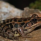 Pickerel frog by Michael L Dye