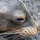Galapagos Sea Lion by Carly  Quissett