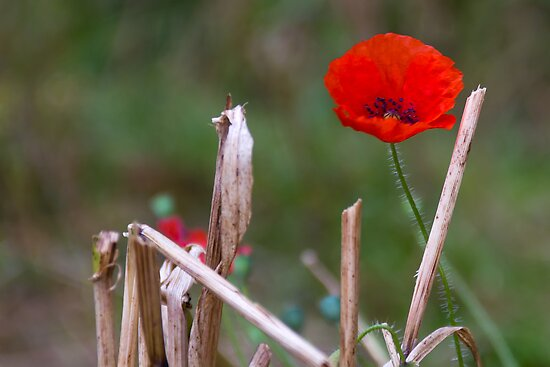 Harvest Poppy by stay-focussed