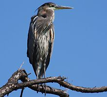 Great Blue Heron #5 by Kane Slater