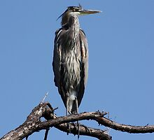 Great Blue Heron #3 by Kane Slater