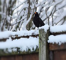 Blackbird by Karen  Betts