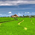ON THE FIELDS OF BALI by FLYINGSCOTSMAN