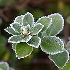 Escallonia leaves in the frost by DebbyScott