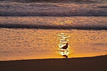 Gull at Sunset by John Butler