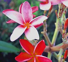 Pink and red plumeria by ♥⊱ B. Randi Bailey