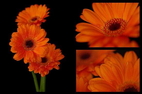 Gerbera collage II by Maria Tzamtzi