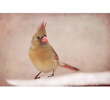 Mrs. Cardinal's Bad Hair Day ~ Photographic Print