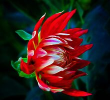 Dahlia light show by Elaine Game