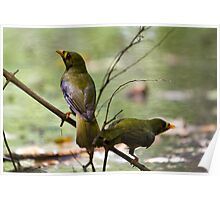 australia birds -- bell miner Poster
