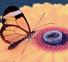 Glasswing butterfly feeding. by John Morrison