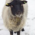 Black Faced Sheep  by Roger Hall