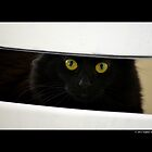 Felis Catus - Black Female Turkish Angora Cat Hiding Behind White Chair by  Sophie Smith
