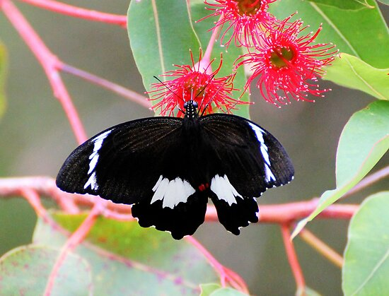 A Day In The Garden Black Butterfly by Kym Bradley