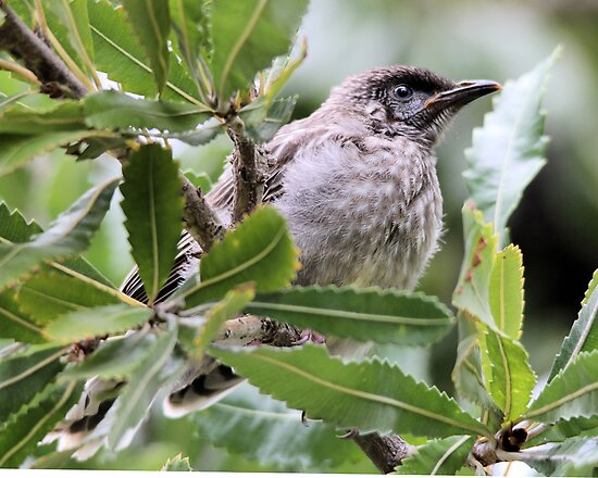 Baby Wattle Bird by Kym Bradley