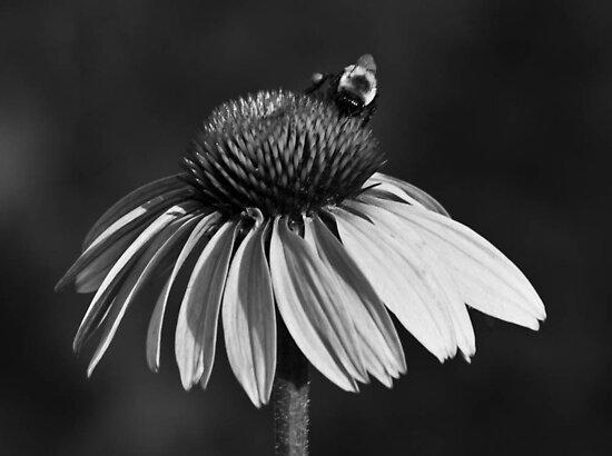 Daisy Bee by Adam Kuehl