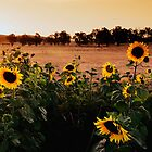 Sunflower Sunshine by JasonLStephens
