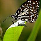 beautiful butterfly by arlingtonpup