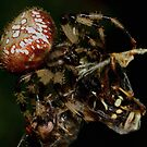 Shamrock Orbweaver wrapping two Bald-faced Hornets by Kane Slater