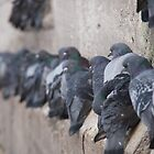 Pigeons in Turkey by Kirk D. Belmont Photography