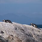 Penguins in Africa by Kirk D. Belmont Photography