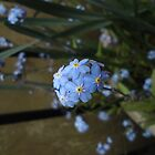 Forget-me-not by swallow-hutchby
