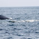 Minke Whales  by Carly  Quissett