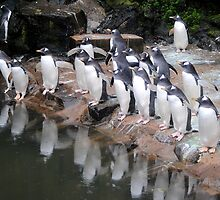 Gentoo Penguins by Dorothy Thomson