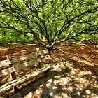 Live Oak Tree and Bench Outer Banks by Dan Carmichael