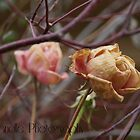 Winter Roses by Sarah Randle