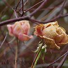 Winter Roses by Sarah Randle