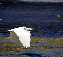 Great Egrett skimming tidal flats by AndreCosto
