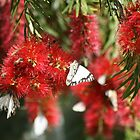 Red Butterfly  by oonaphotography