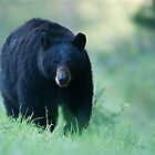 Yellowstone Black Bear by TomReichner