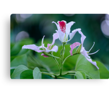 Bauhinia Monandra (Pink Orchid Tree) Flower Cluster Canvas Print