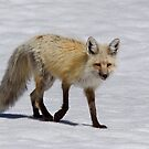 Red Fox in Snow, Yellowstone National Park by TomReichner