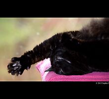Felis Catus - Black Female Turkish Angora Cat Stretching Her Paw In Sleep by © Sophie W. Smith