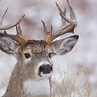 White-tailed Buck Deer with non-typical antlers, winter portrait by TomReichner