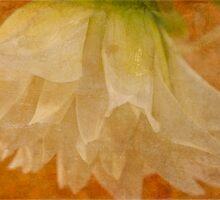 White Dahlia by Sandra Foster