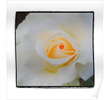 Yellow White Rose Poster