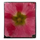 Pink Hollyhock by gloriart