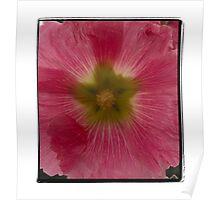 Pink Hollyhock Poster