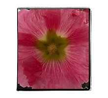 Pink Hollyhock Photographic Print