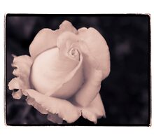 Dreamy Sepia Rose by gloriart