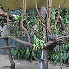 Snooze time at Koala garden by sarbi
